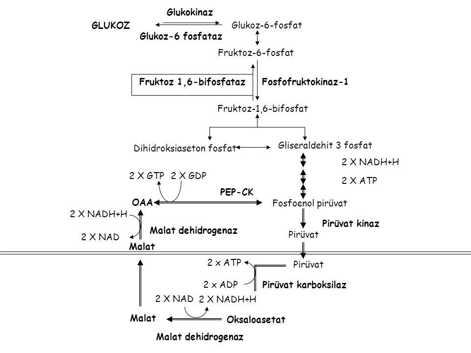 2 X NAD 2 X NADH+H Glukoz-6-fosfat 2 x ATP Pirüvat Gliseraldehit 3 fosfat 2 X GTP PEP-CK Malat GLUKOZ Glukokinaz Fruktoz-6-fosfat Fruktoz-1,6-bifosfat