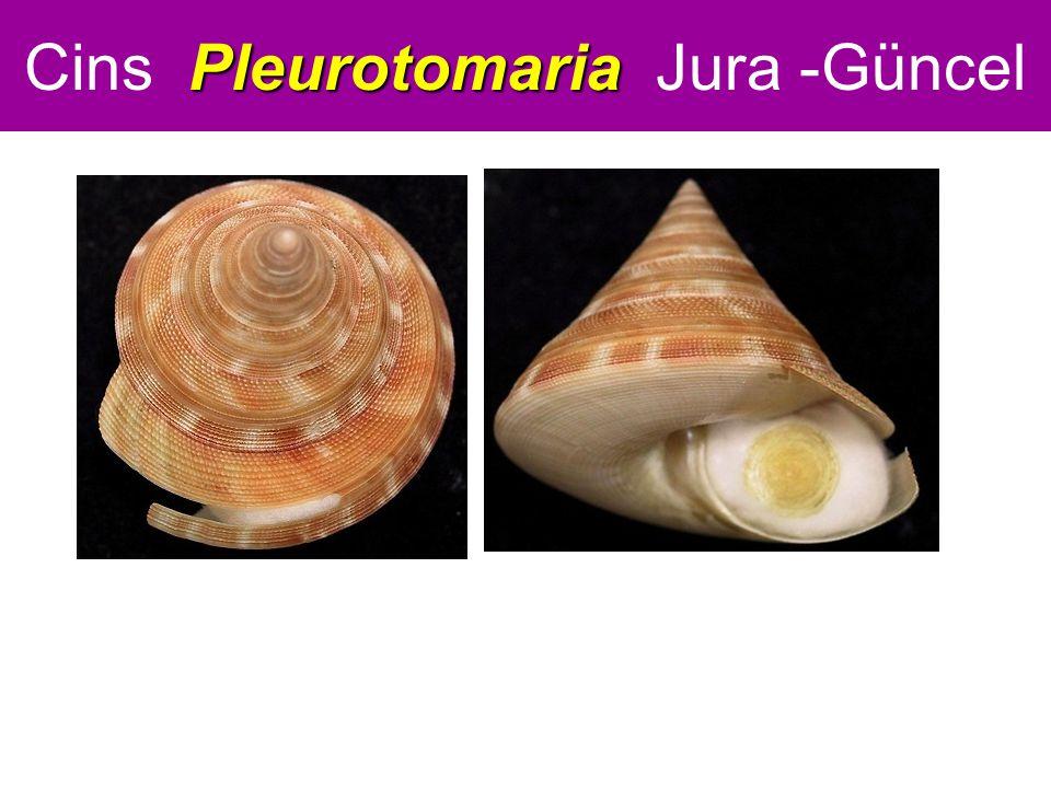 Pleurotomaria Cins Pleurotomaria Jura -Güncel