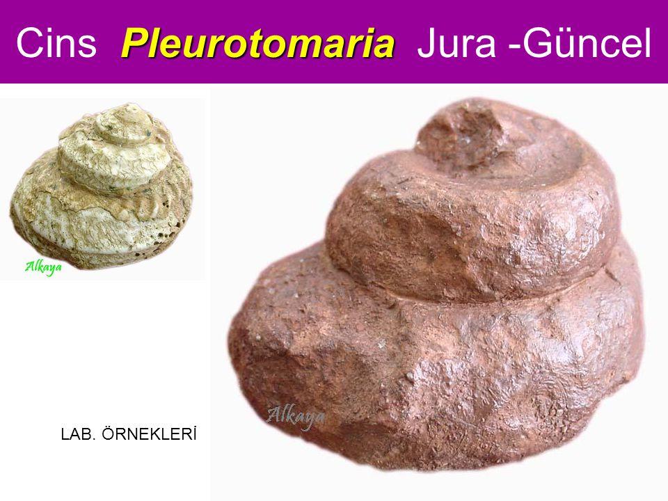 Pleurotomaria Cins Pleurotomaria Jura -Güncel LAB. ÖRNEKLERİ