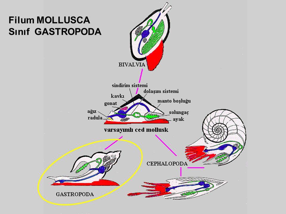 Filum MOLLUSCA Sınıf GASTROPODA