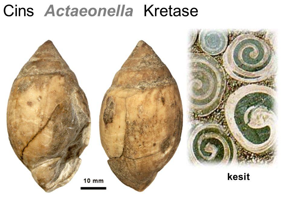 Cins Actaeonella Kretase kesit