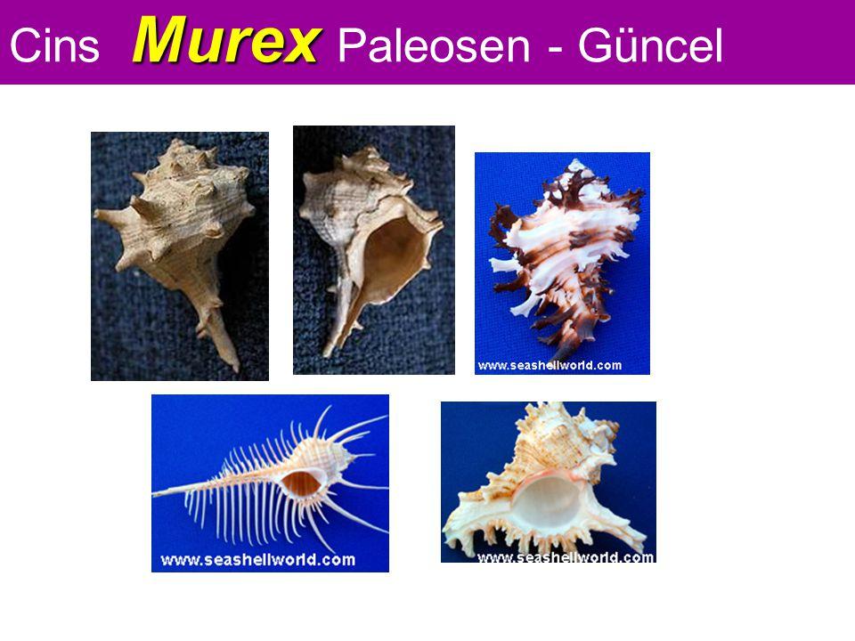 Murex Cins Murex Paleosen - Güncel