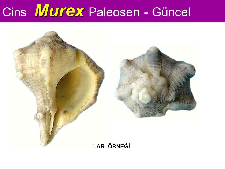 Murex Cins Murex Paleosen - Güncel LAB. ÖRNEĞİ