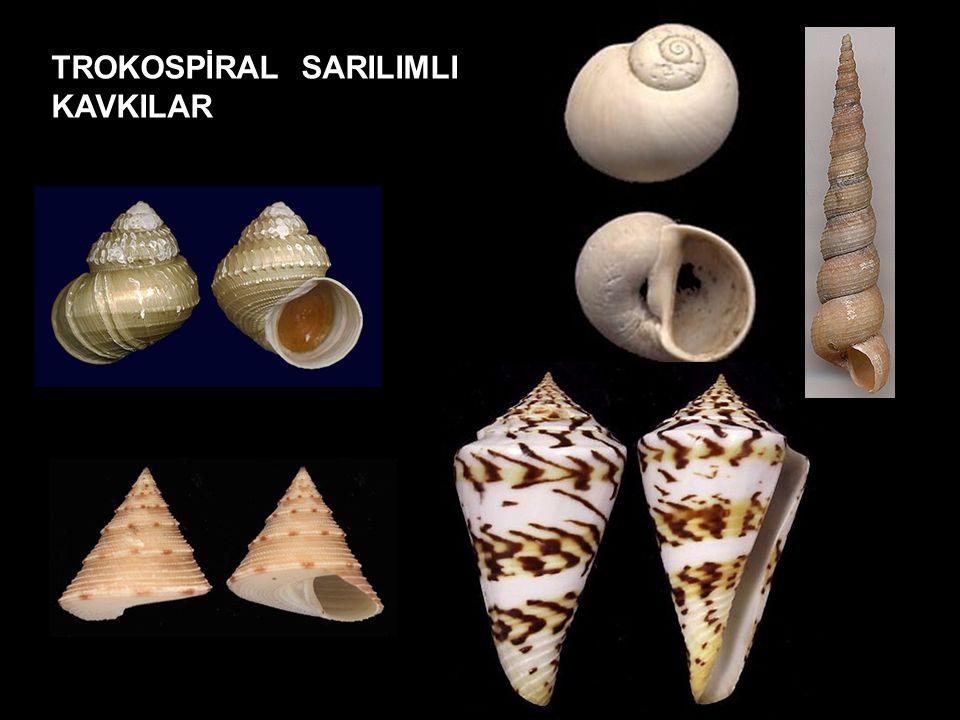 TROKOSPİRAL SARILIMLI KAVKILAR