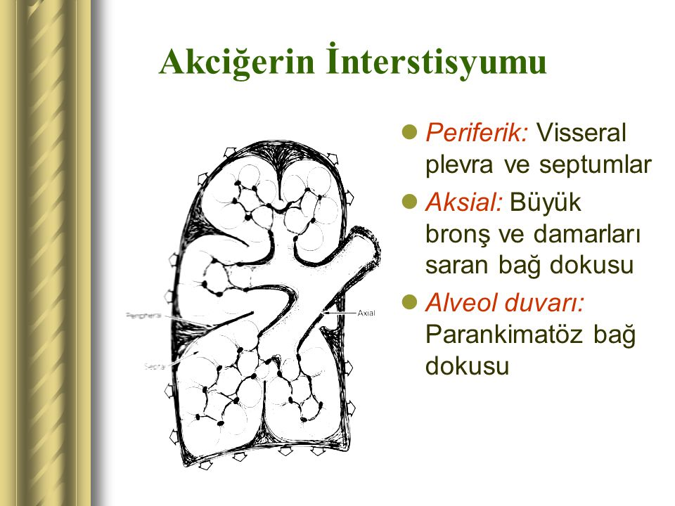 Akciğerin İnterstisyumu Periferik: Visseral plevra ve septumlar Aksial: Büyük bronş ve damarları saran bağ dokusu Alveol duvarı: Parankimatöz bağ doku