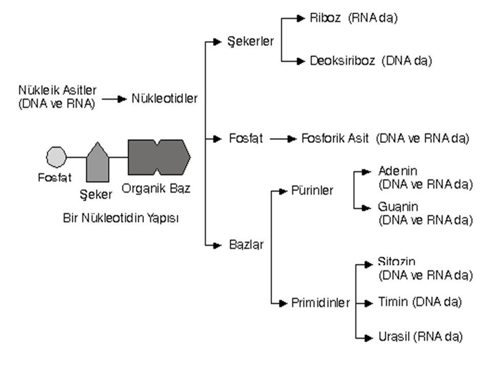 DNA (Deoksiribonükleik asit) DNA,ökaryot hücrelerin çekirdek, mitokondri ve kloroplastında bulunur.