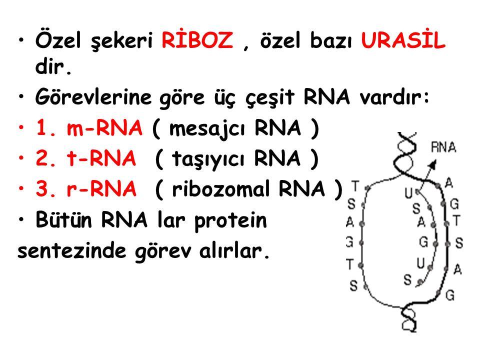 GENETİK ŞİFRENİN AKTARILMASI DNA A S G - T A G ŞİFRE m-RNA U G S - A U S KODON t-RNA A S G - U A G ANTİKODON sistein – izolösin aminoasit