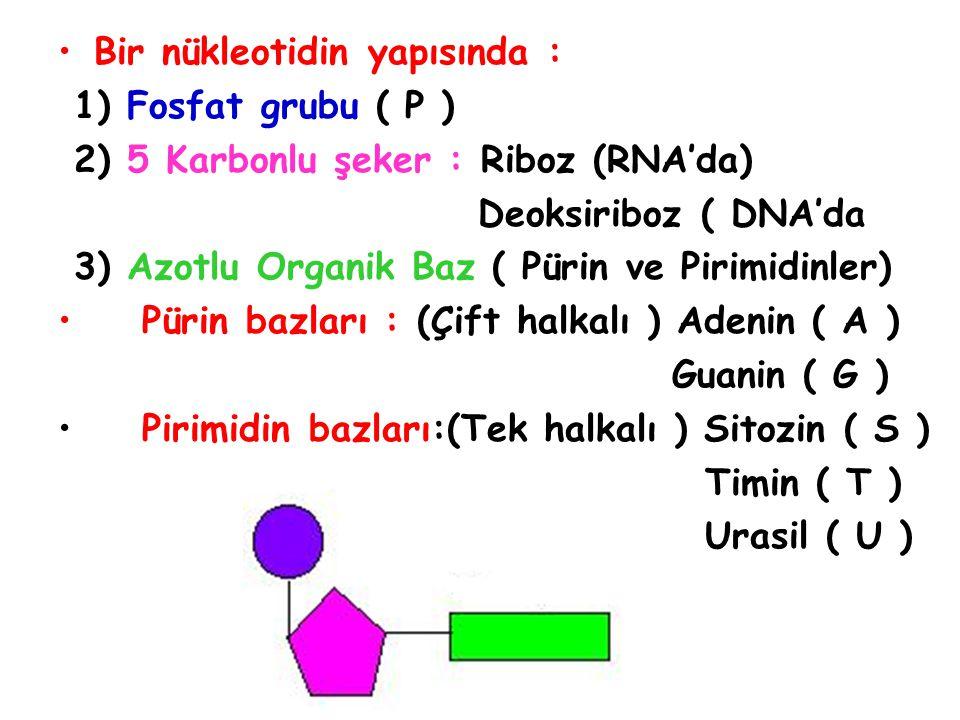 Fosfat grubu (P ) Azotlu organik baz DNA ise ( A,G,S,T ) RNA ise ( A,G,S,U ) Pentoz şeker (RNA ise riboz) ( DNA ise deoksiriboz ) Nükleotid sayısı = Şeker sayısı = Fosfat sayısı = Azotlu Organik Baz Sayısı