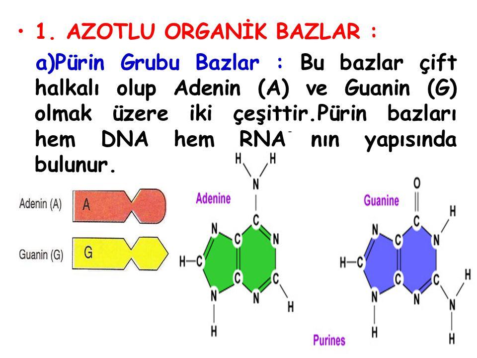 B)Pirimidin grubu bazlar : Bu bazlar tek halkalı olup Sitozin (S), Timin (T) ve Urasil (U) bazlarını içerirler.