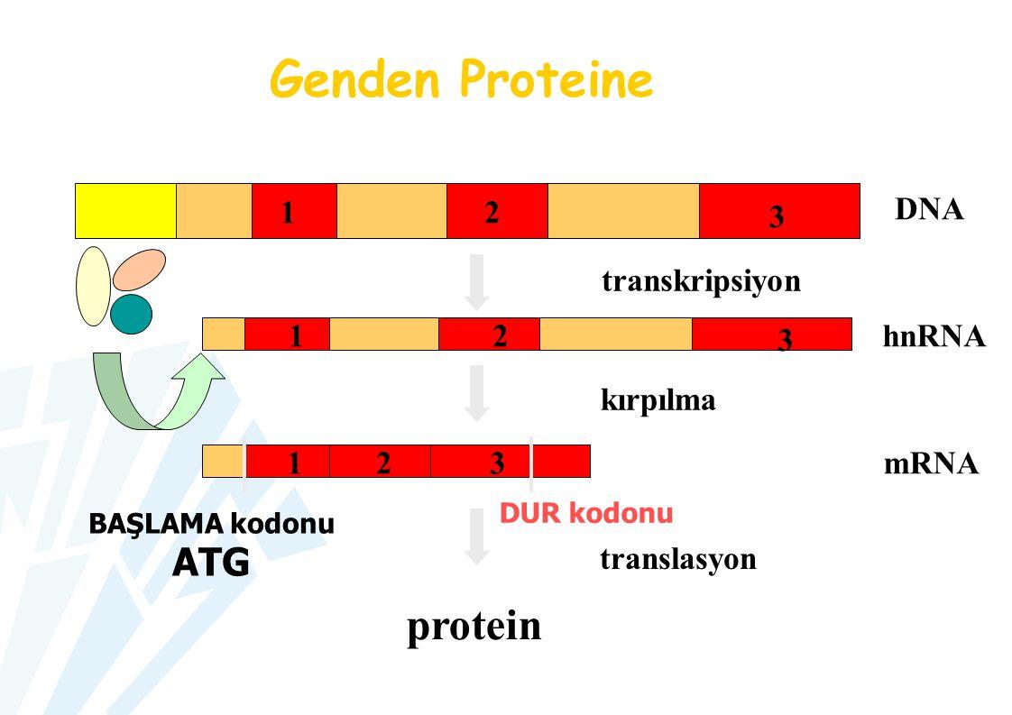 mRNA hnRNA protein transkripsiyon kırpılma translasyon DUR kodonu BAŞLAMA kodonu ATG Genden Proteine DNA 12 3 12 3 1 2 3