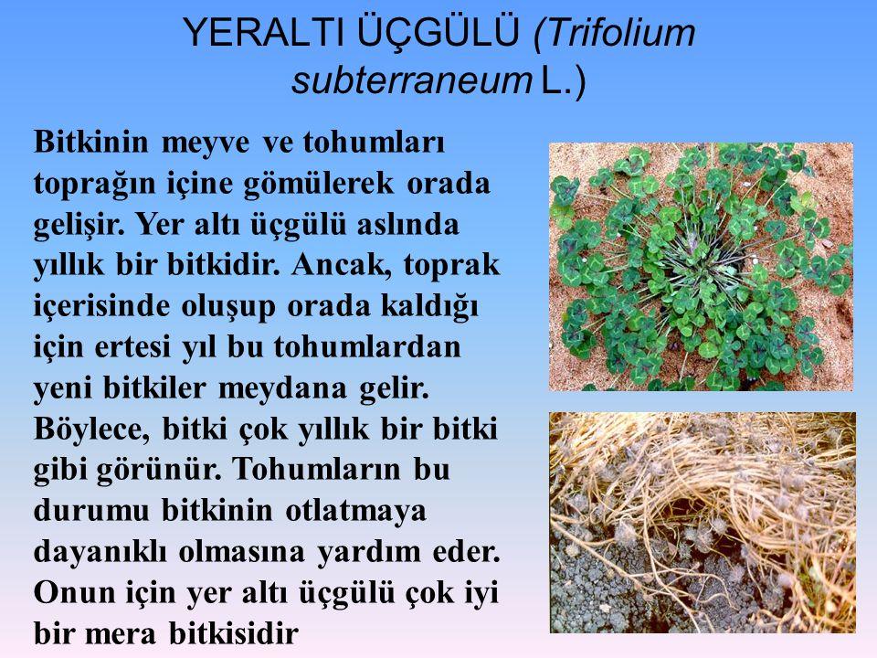 YERALTI ÜÇGÜLÜ (Trifolium subterraneum L.) Bitkinin meyve ve tohumları toprağın içine gömülerek orada gelişir. Yer altı üçgülü aslında yıllık bir bitk