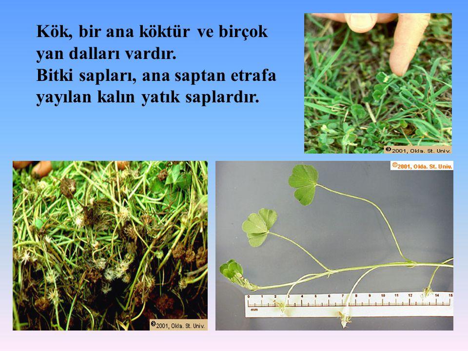 Kök, bir ana köktür ve birçok yan dalları vardır. Bitki sapları, ana saptan etrafa yayılan kalın yatık saplardır.