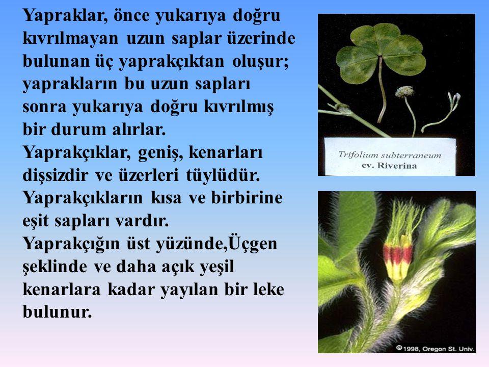 Yapraklar, önce yukarıya doğru kıvrılmayan uzun saplar üzerinde bulunan üç yaprakçıktan oluşur; yaprakların bu uzun sapları sonra yukarıya doğru kıvrı