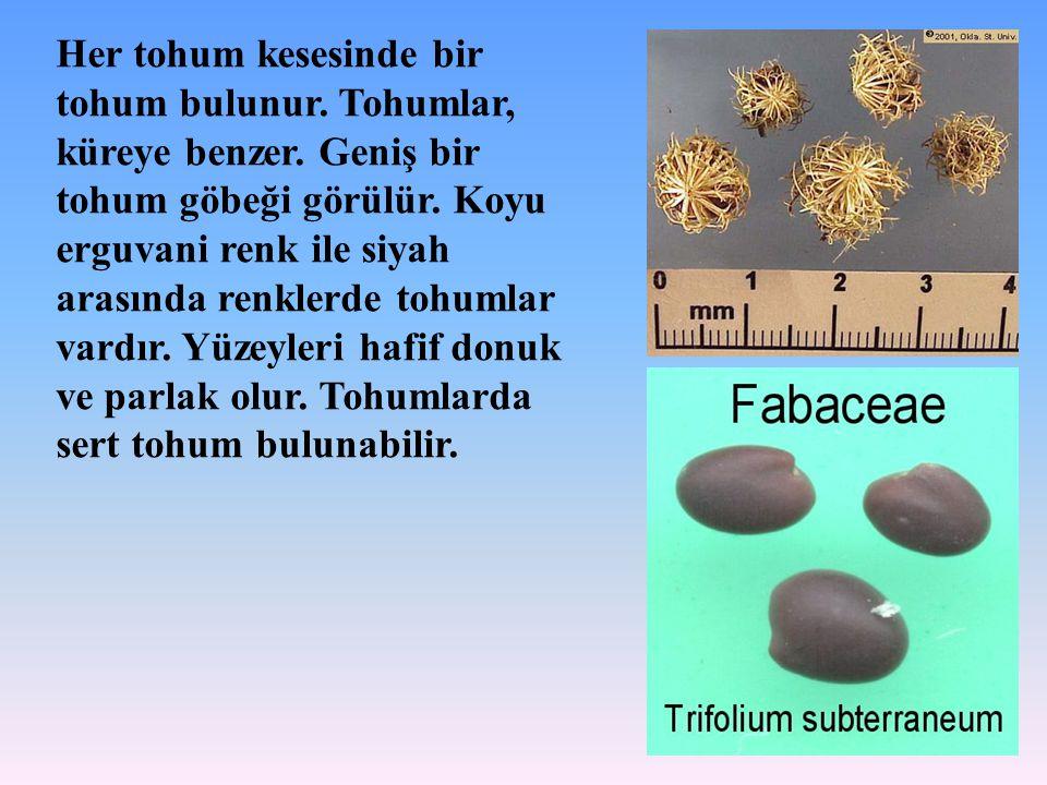 Her tohum kesesinde bir tohum bulunur. Tohumlar, küreye benzer. Geniş bir tohum göbeği görülür. Koyu erguvani renk ile siyah arasında renklerde tohuml