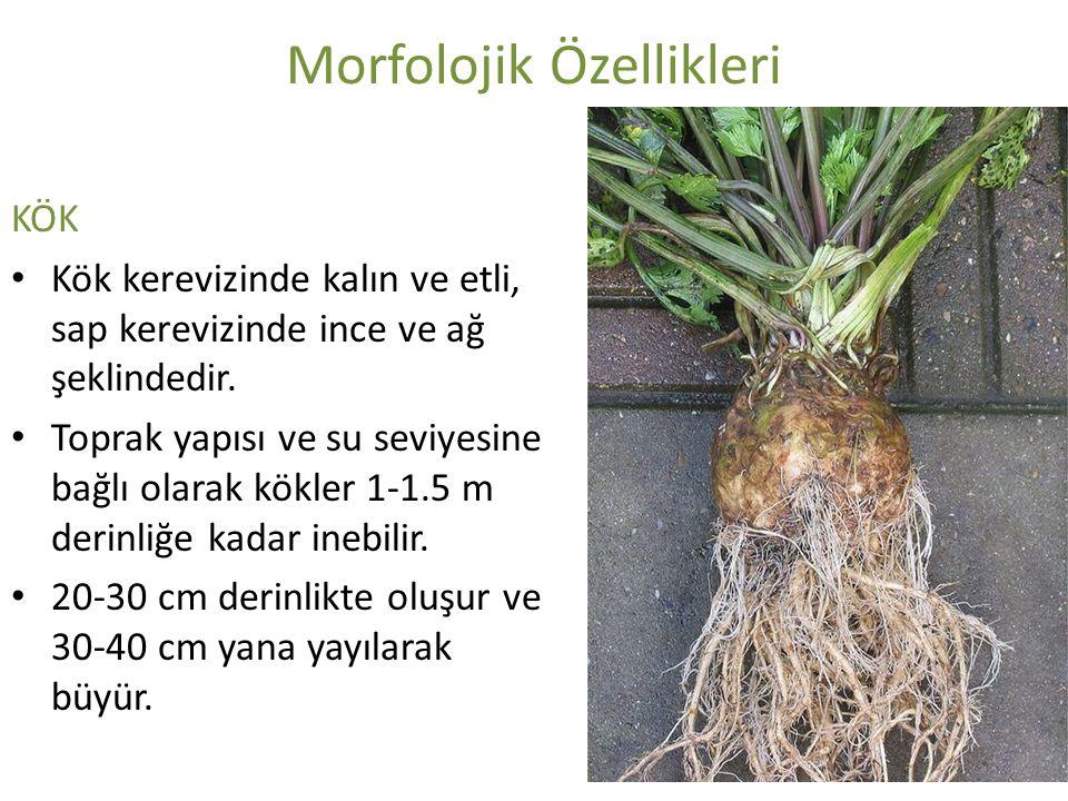 Morfolojik Özellikleri KÖK Kök kerevizinde kalın ve etli, sap kerevizinde ince ve ağ şeklindedir. Toprak yapısı ve su seviyesine bağlı olarak kökler 1