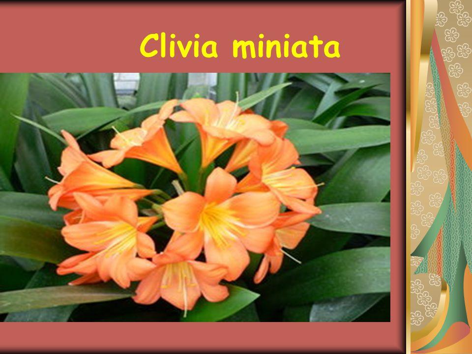 BAKIM Çiçeklenme dönemi sonunda bitki budanmalı, Martta da yeni bir saksıya alınmalıdır.Genç bitkiler ilkbaharda saksıya alınmalı,çiçeklenme başlayınca su püskürtmeye başlanmalıdır.