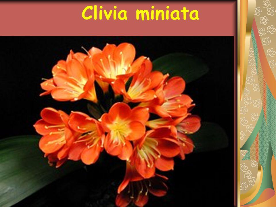 GENEL ÖZELLİKLERİ Güzel yaprakları,göz alıcı çiçekleri ile çok kullanılan Clivia miniata dayanıklı bir bitkidir.