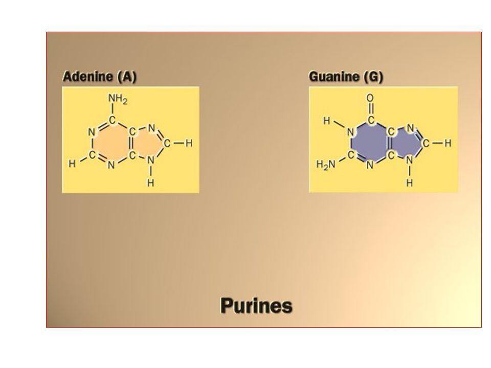 Memeli hücrelerinde serbest pirimidin bazlarından pirimidin nükleotidlerini oluşturmak için yol yoktur.