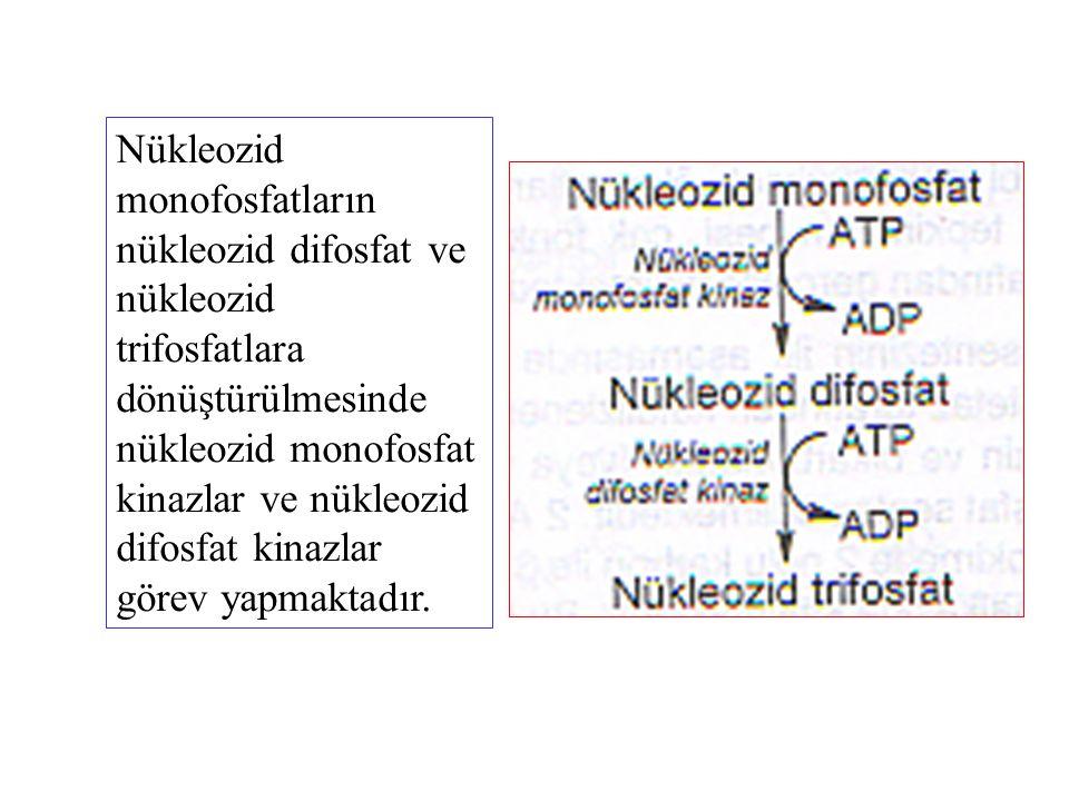 Nükleozid monofosfatların nükleozid difosfat ve nükleozid trifosfatlara dönüştürülmesinde nükleozid monofosfat kinazlar ve nükleozid difosfat kinazlar