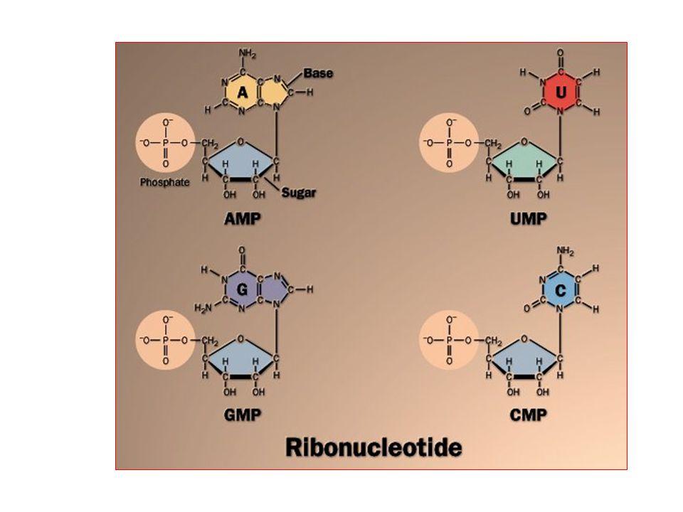 Pirimidin nükleotidlerinin yıkılımı Pirimidin nükleotidleri defosforile olarak nükleozidlere dönüşürler.