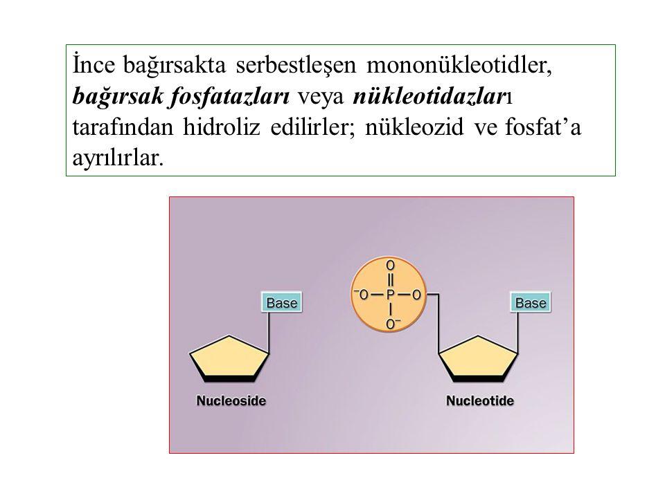 İnce bağırsakta serbestleşen mononükleotidler, bağırsak fosfatazları veya nükleotidazları tarafından hidroliz edilirler; nükleozid ve fosfat'a ayrılır
