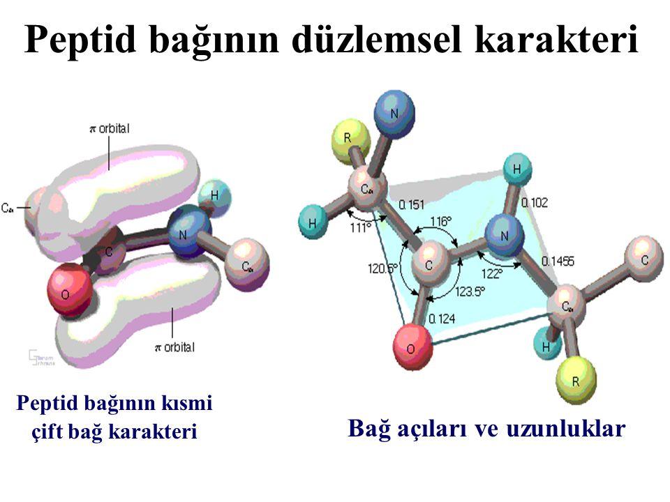 Peptid bağının düzlemsel karakteri Peptid bağları nedeniyle, polipeptid zincirin 2 / 3 ' ü sabit bir düzlem içinde tutulur  Yarı-katı (sert) yapı  Protein yapısının düzenlenmesi