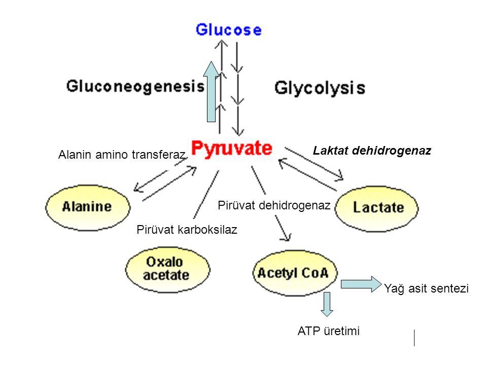 Laktat dehidrogenaz Pirüvat dehidrogenaz Pirüvat karboksilaz Alanin amino transferaz Yağ asit sentezi ATP üretimi