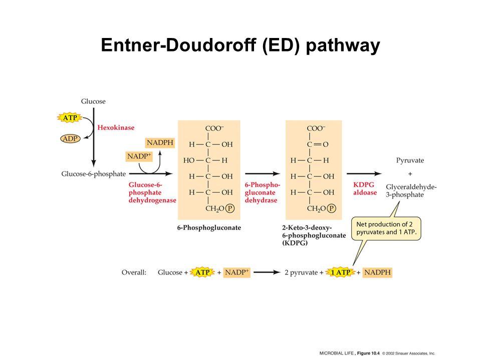 Entner-Doudoroff (ED) pathway
