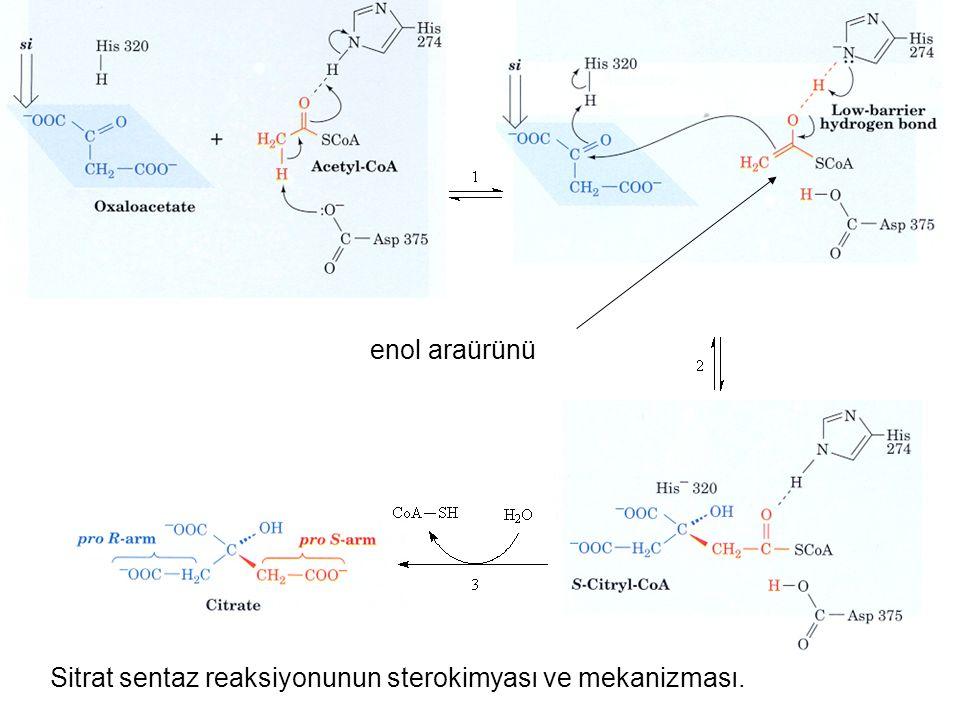 Sitrat sentaz reaksiyonunun sterokimyası ve mekanizması. enol araürünü