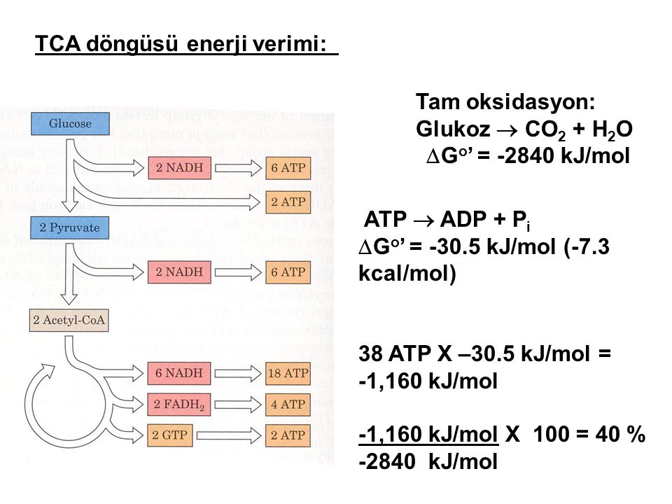 ATP  ADP + P i  G o ' = -30.5 kJ/mol (-7.3 kcal/mol) 38 ATP X –30.5 kJ/mol = -1,160 kJ/mol -1,160 kJ/mol X 100 = 40 % -2840 kJ/mol Tam oksidasyon: Glukoz  CO 2 + H 2 O  G o ' = -2840 kJ/mol TCA döngüsü enerji verimi: