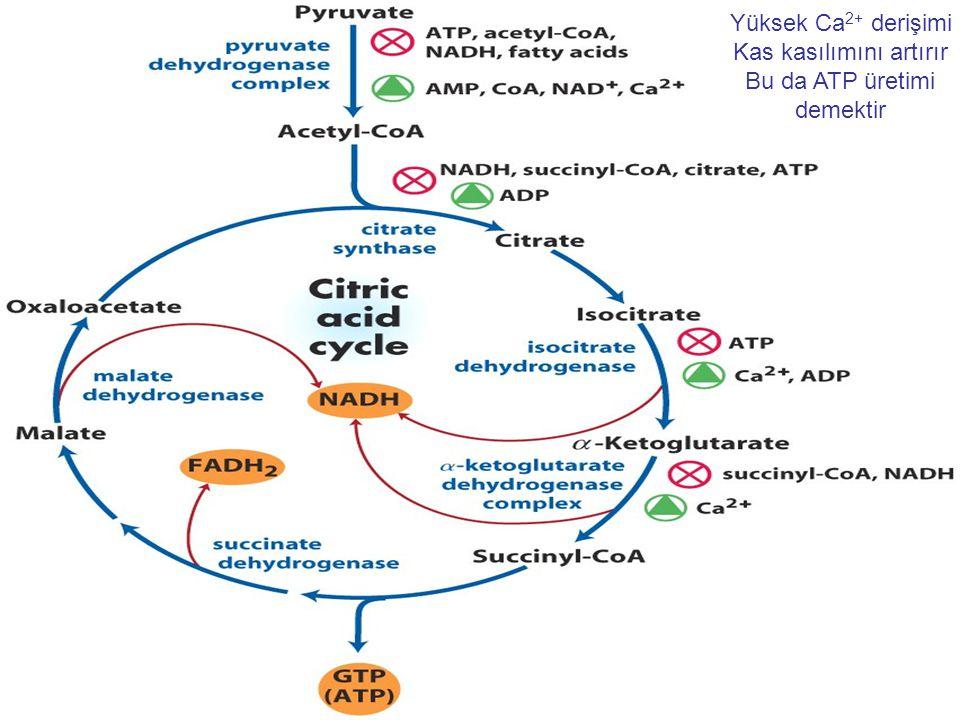 Yüksek Ca 2+ derişimi Kas kasılımını artırır Bu da ATP üretimi demektir