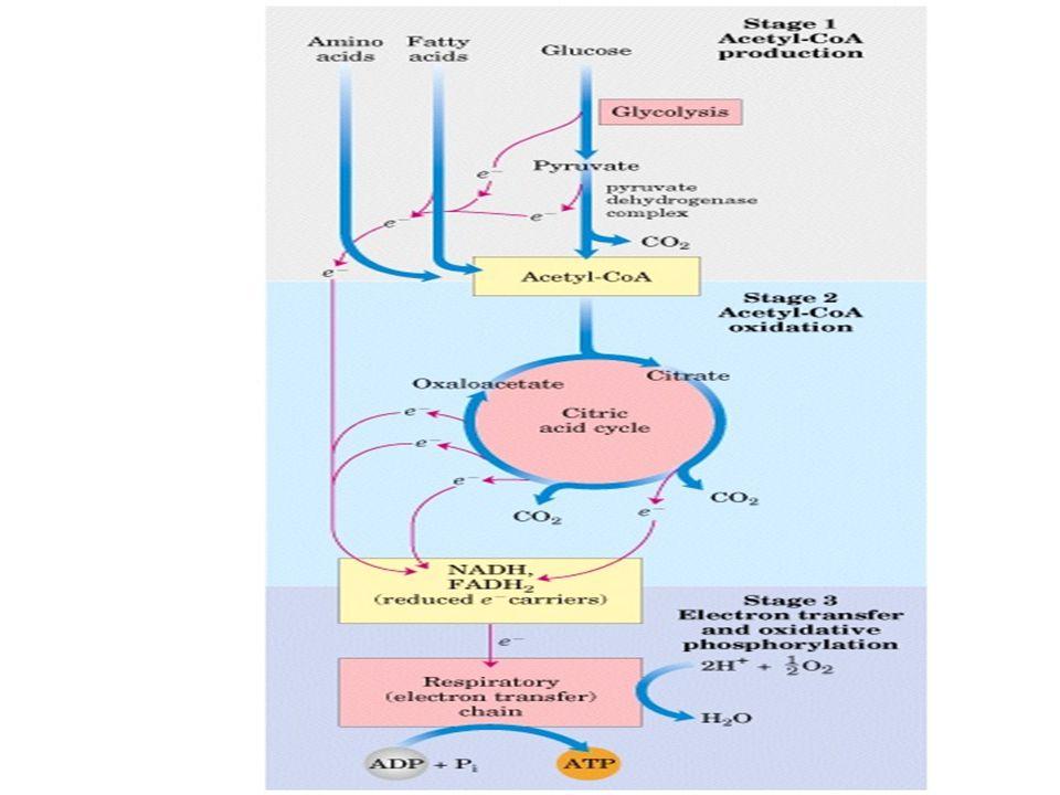 TCA DÖNGÜSÜ TCA döngüsünün özellikleri.
