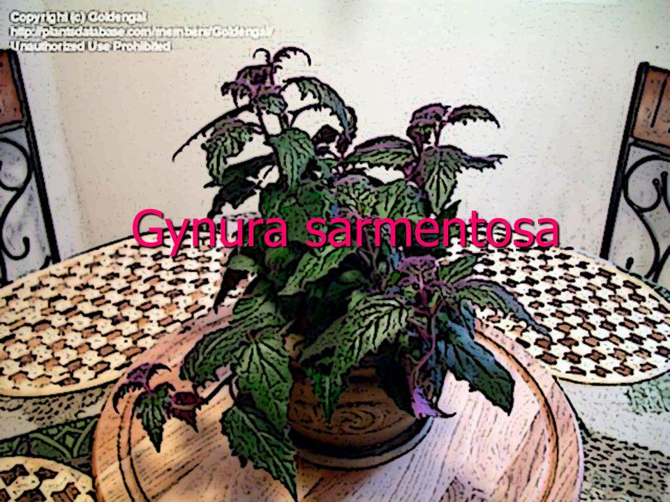 Familya:Asteraceae Familya:Asteraceae Botanik Adı:Gynura sarmentosa Botanik Adı:Gynura sarmentosa Sinonim Adı:Gynura procumbens Sinonim Adı:Gynura procumbens Türkçe Adı:Mor yaprak Türkçe Adı:Mor yaprak Anavatanı:Hindistan Anavatanı:Hindistan Gynura sarmentosa