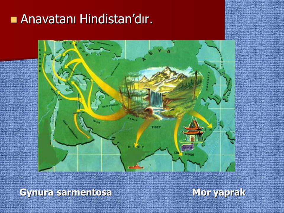 Anavatanı Hindistan'dır. Anavatanı Hindistan'dır. Gynura sarmentosa Mor yaprak