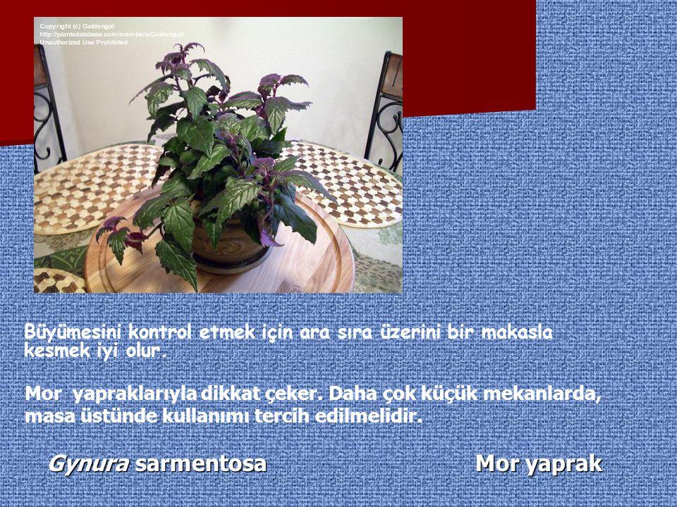 Gynura sarmentosa Mor yaprak Büyümesini kontrol etmek için ara sıra üzerini bir makasla kesmek iyi olur. Mor yapraklarıyla dikkat çeker. Daha çok küçü