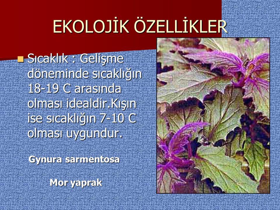 Gynura sarmentosa Mor yaprak Büyümesini kontrol etmek için ara sıra üzerini bir makasla kesmek iyi olur.