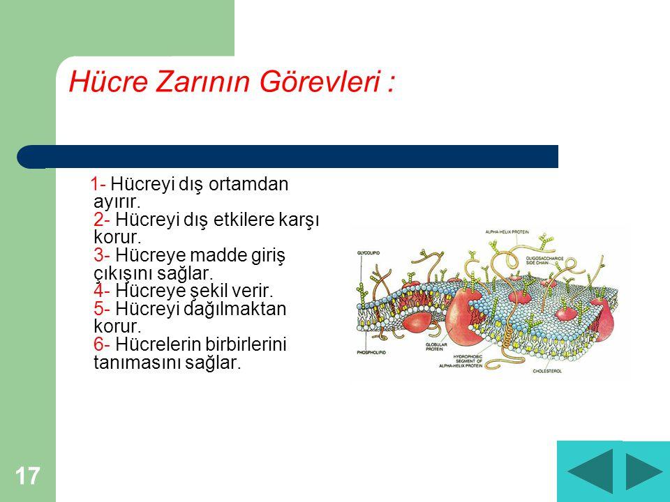 17 Hücre Zarının Görevleri : 1- Hücreyi dış ortamdan ayırır.