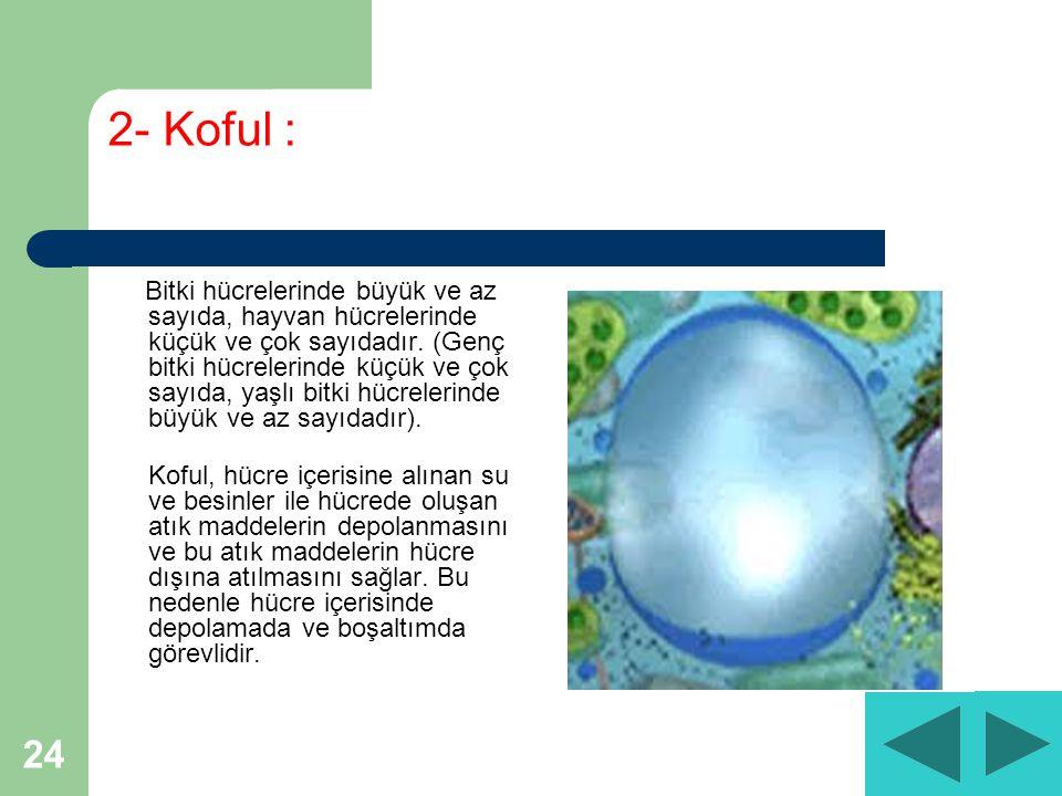 24 2- Koful : Bitki hücrelerinde büyük ve az sayıda, hayvan hücrelerinde küçük ve çok sayıdadır.