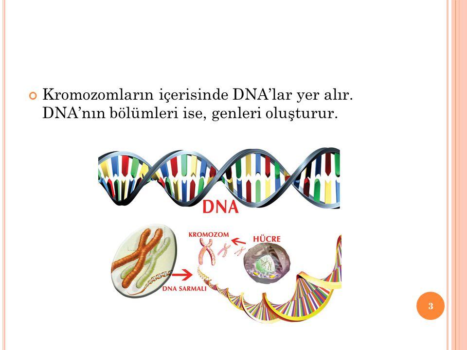 Kromozomların içerisinde DNA'lar yer alır. DNA'nın bölümleri ise, genleri oluşturur. 3