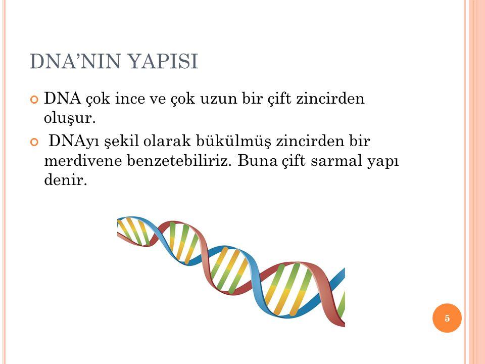 DNA'NIN YAPISI DNA çok ince ve çok uzun bir çift zincirden oluşur. DNAyı şekil olarak bükülmüş zincirden bir merdivene benzetebiliriz. Buna çift sarma