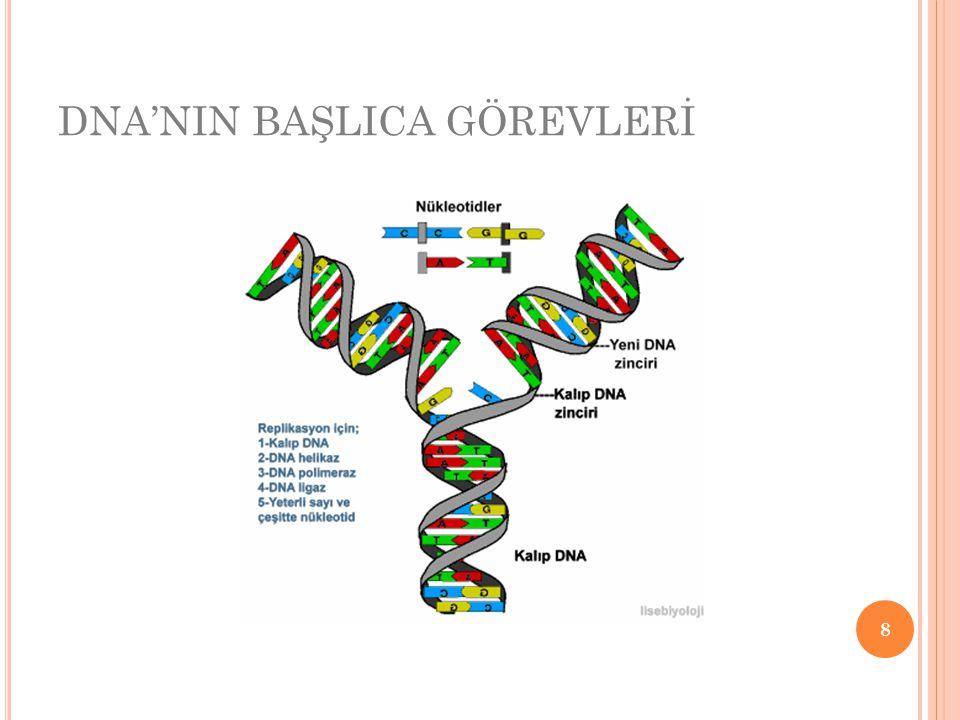 a) Hücre içerisinde protein sentezini yönetir.