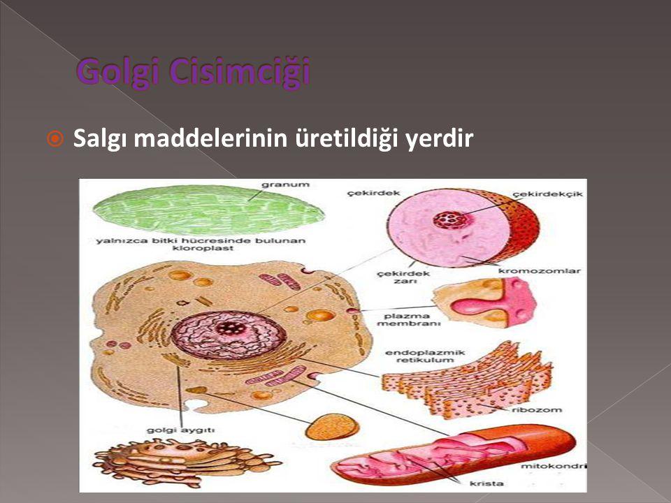 """ Hücre içerisinde madde taşınmasından sorumlu organeldir. Üzerinde ribozom bulunduranlara """"granüllü endoplazmik retikulum"""" ribozom bulundurmayanlara"""