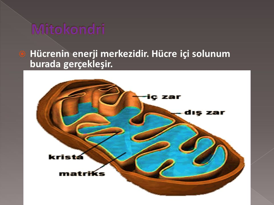  Hücrenin enerji merkezidir. Hücre içi solunum burada gerçekleşir.