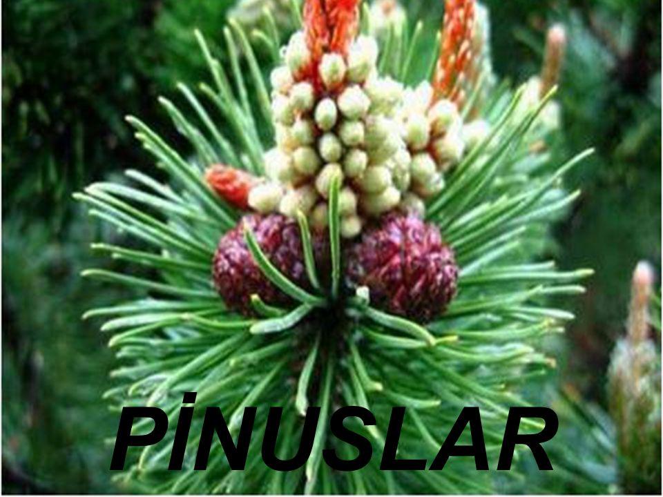 Bilimsel Sınıflandırma Alem: Plantae (Bitkiler)Plantae Bölüm:Pinophyta(Açıktohumlular)Pinophyta Sınıf: PinopsidaPinopsida Takım: Pinales (İğne yapraklılar)Pinales Familya: Pinaceae (Çamgiller)Pinaceae Cins: Pinus