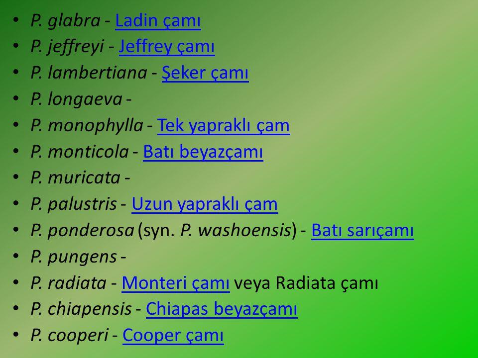 P. glabra - Ladin çamıLadin çamı P. jeffreyi - Jeffrey çamıJeffrey çamı P. lambertiana - Şeker çamıŞeker çamı P. longaeva - P. monophylla - Tek yaprak