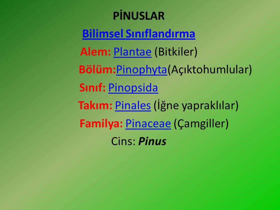 Çam: Pinaceae (çamgiller) familyasından Pinus cinsinden orman ağaçlarını içeren iğne yapraklı türlere verilen ad.Pinaceaeormanağaçlarını Familya üyeleri bir evcikli herdem yeşil ve yaprak döken türleri içerir.