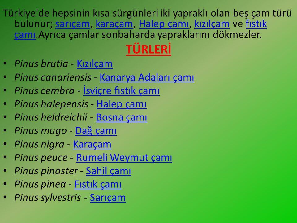 Türkiye'de hepsinin kısa sürgünleri iki yapraklı olan beş çam türü bulunur; sarıçam, karaçam, Halep çamı, kızılçam ve fıstık çamı.Ayrıca çamlar sonbah