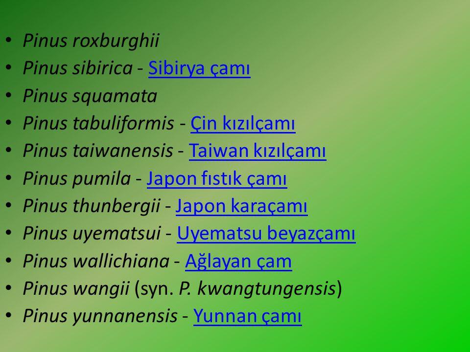 Pinus roxburghii Pinus sibirica - Sibirya çamıSibirya çamı Pinus squamata Pinus tabuliformis - Çin kızılçamıÇin kızılçamı Pinus taiwanensis - Taiwan k