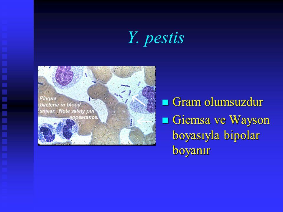 Y. pestis Gram olumsuzdur Giemsa ve Wayson boyasıyla bipolar boyanır