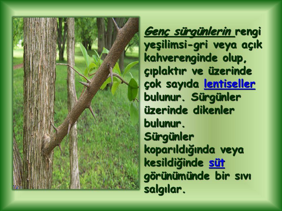 Genç sürgünlerin rengi yeşilimsi-gri veya açık kahverenginde olup, çıplaktır ve üzerinde çok sayıda lentiseller bulunur.